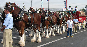 Budweiser Clydesdales ready to roll.